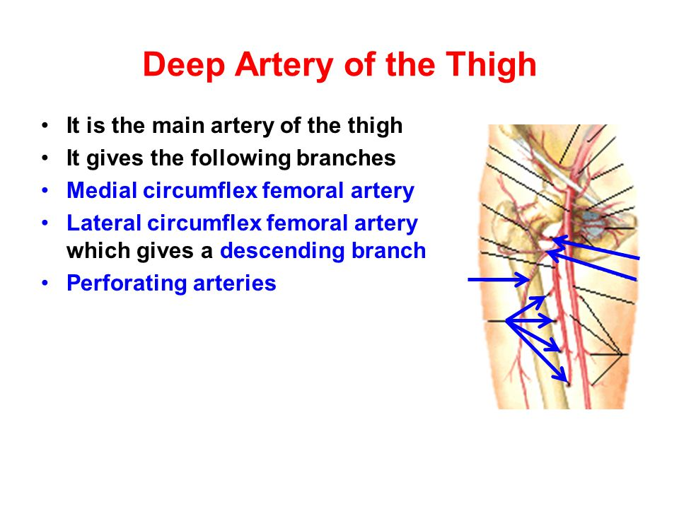 Deep Artery of the Thigh