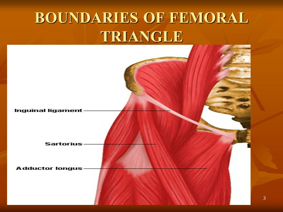 BOUNDARIES OF FEMORAL TRIANGLE