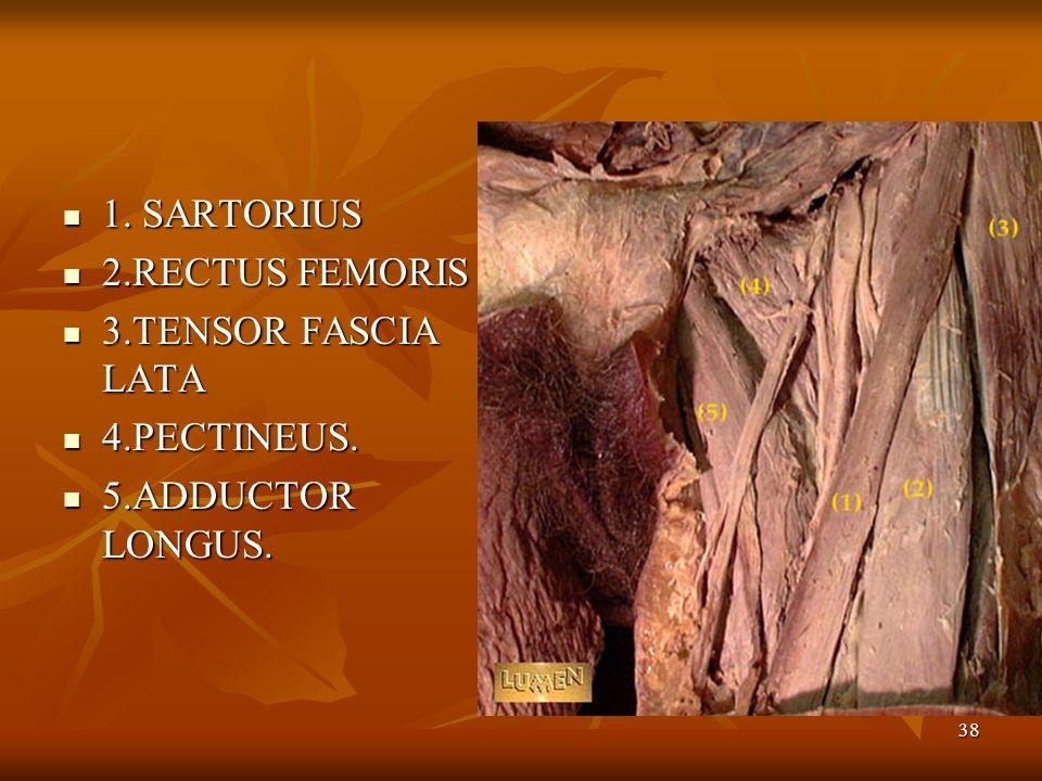 1. SARTORIUS 2.RECTUS FEMORIS 3.TENSOR FASCIA LATA 4.PECTINEUS. 5.ADDUCTOR LONGUS.