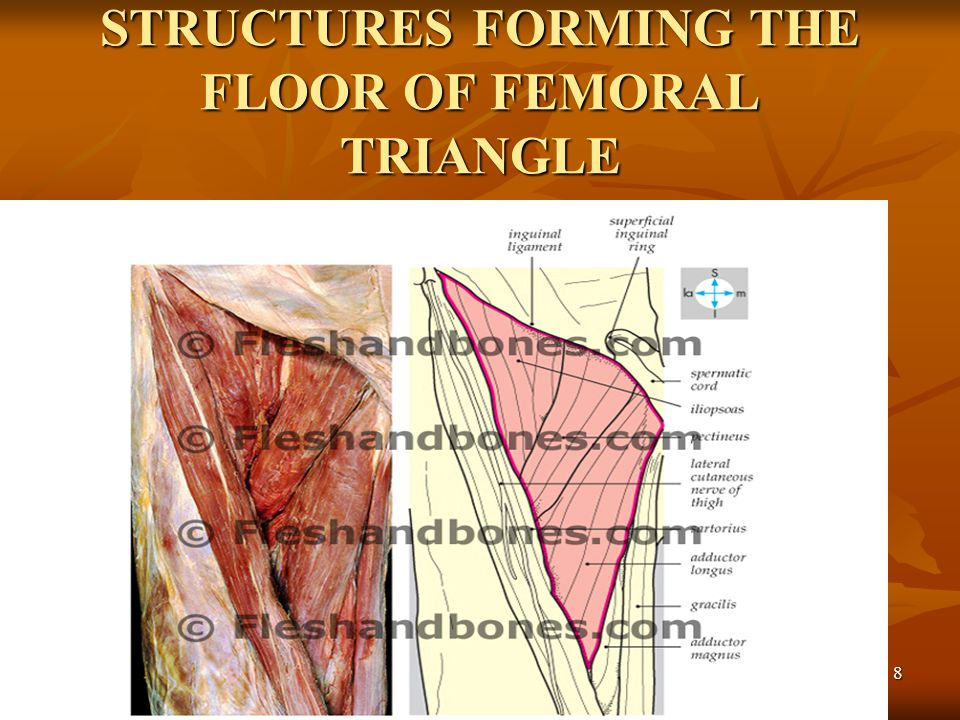 STRUCTURES FORMING THE FLOOR OF FEMORAL TRIANGLE