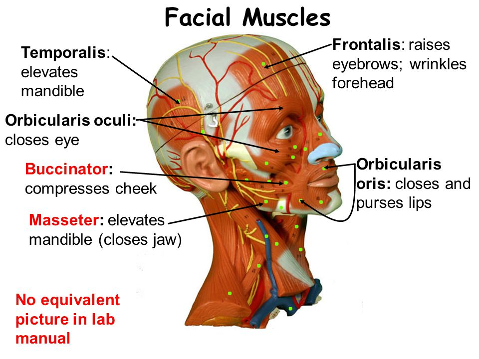 Facial Muscles Frontalis: raises eyebrows; wrinkles forehead