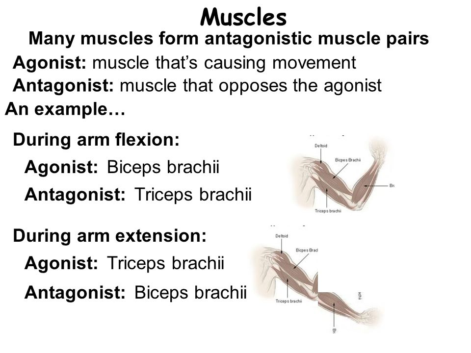 Muscles Many muscles form antagonistic muscle pairs