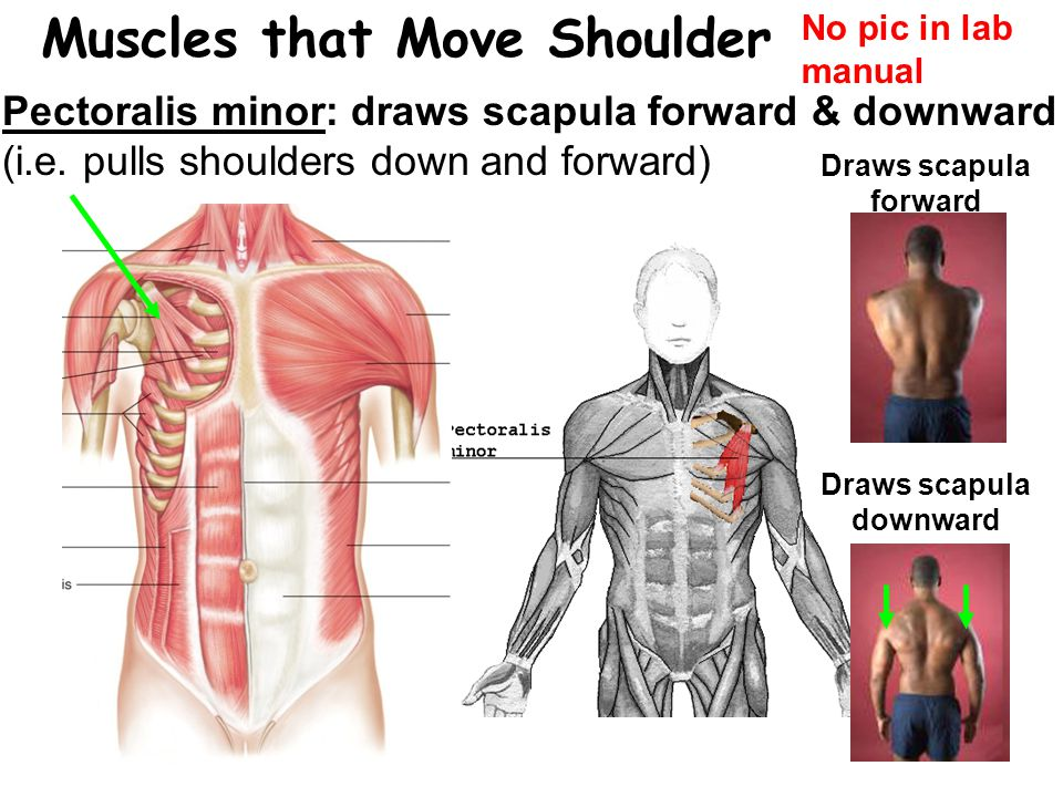 Muscles that Move Shoulder Draws scapula downward