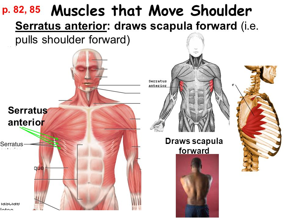Muscles that Move Shoulder