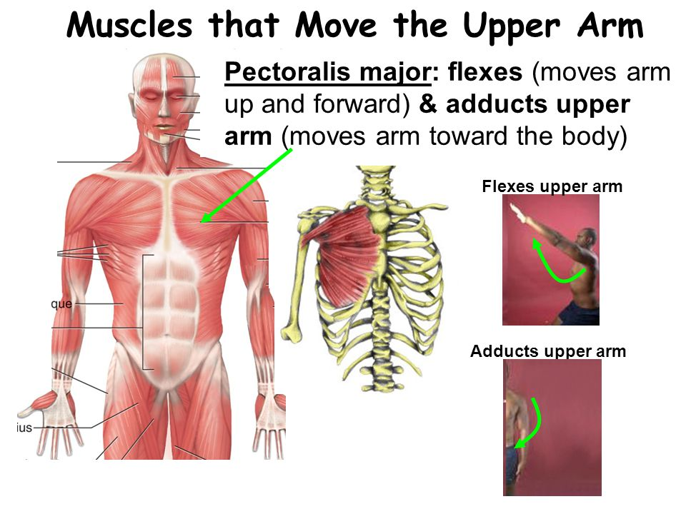 Muscles that Move the Upper Arm