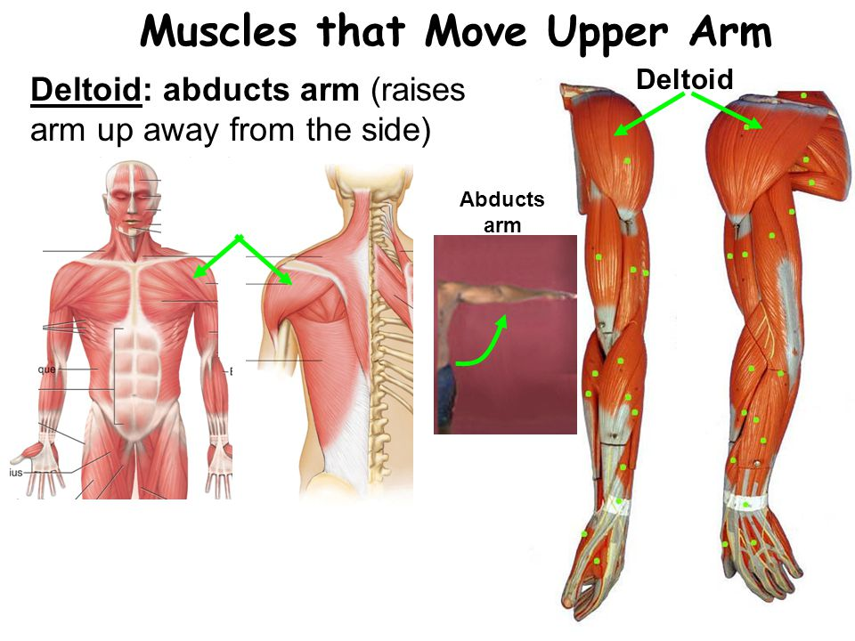 Muscles that Move Upper Arm
