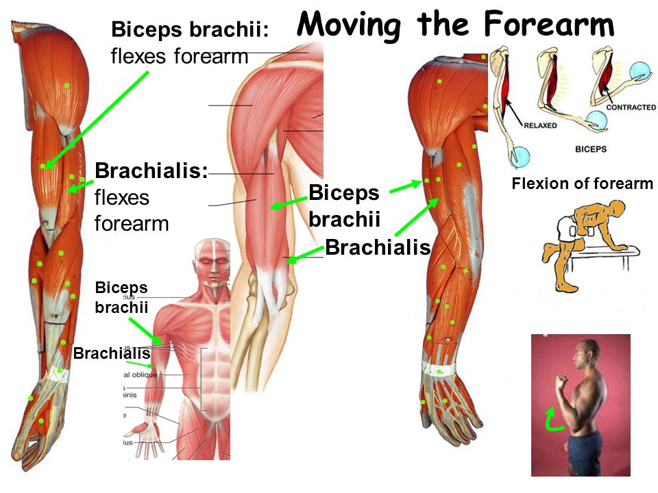 Moving the Forearm Biceps brachii: flexes forearm