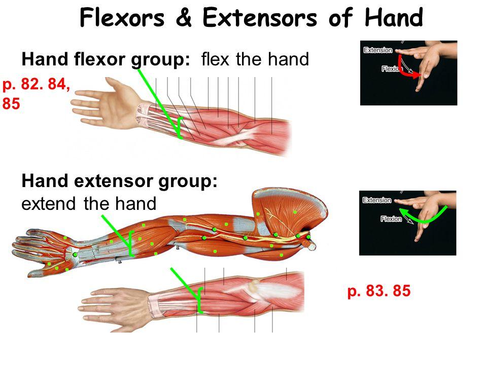 Flexors & Extensors of Hand