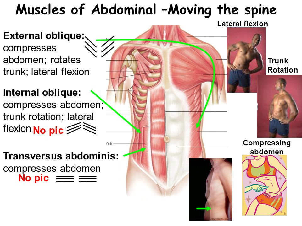 Muscles of Abdominal –Moving the spine