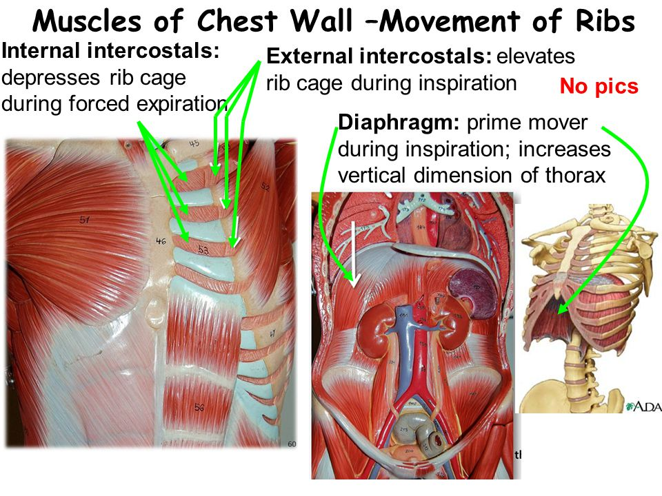 Muscles of Chest Wall –Movement of Ribs