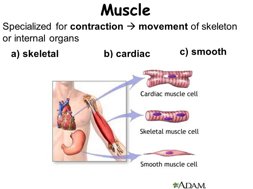 Muscle Specialized for contraction  movement of skeleton or internal organs. c) smooth. a) skeletal.