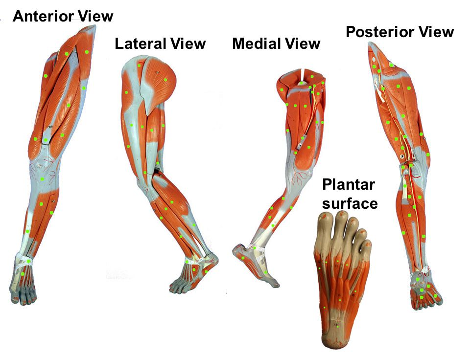 Anterior View Posterior View Lateral View Medial View Plantar surface