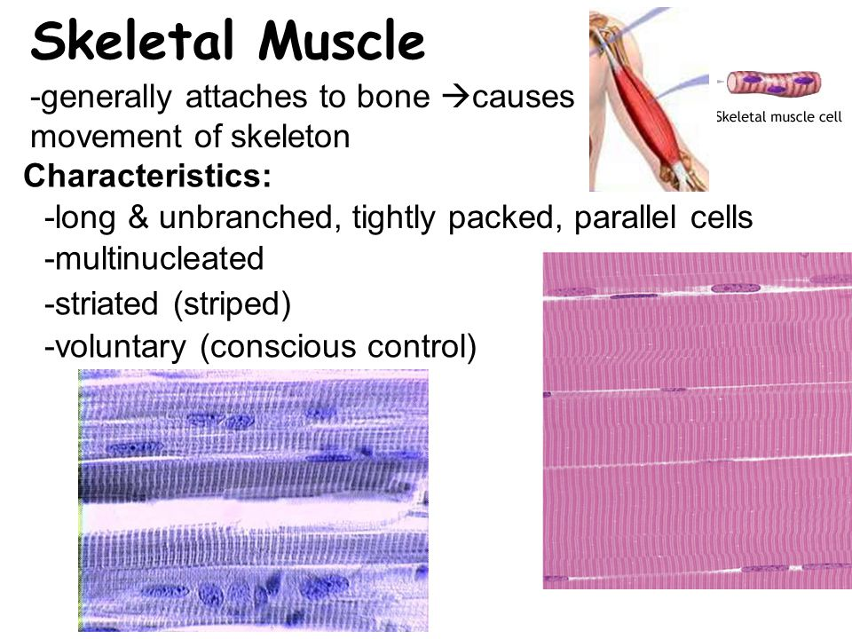 Skeletal Muscle -generally attaches to bone causes movement of skeleton. Characteristics: -long & unbranched, tightly packed, parallel cells.
