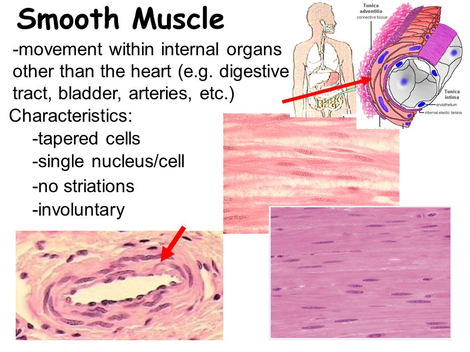 Smooth Muscle -movement within internal organs other than the heart (e.g. digestive tract, bladder, arteries, etc.)