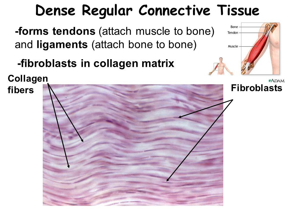 dense fibrous connective tissue A fibrous type of body tissue with varied functions it supports and connects internal organs, forms bones and the walls of blood vessels, attaches muscles to bones, and replaces tissues of other types following injury connective tissue consists mainly of long fibers embedded in noncellular matter.