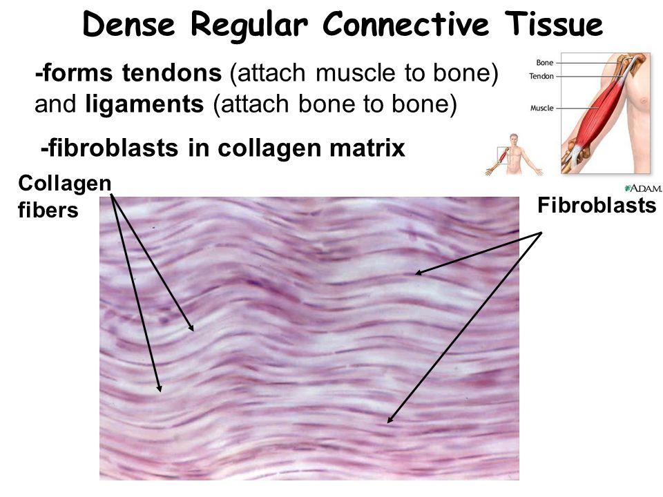 Dense Regular Connective Tissue