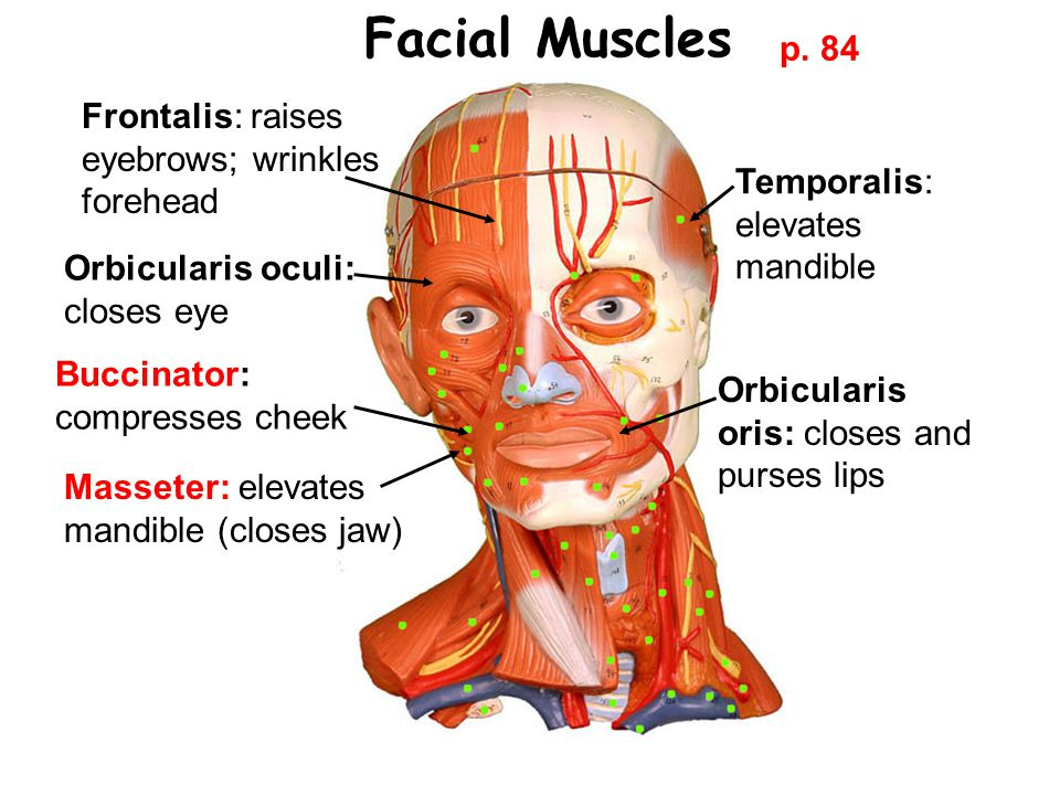 Facial Muscles p. 84 Frontalis: raises eyebrows; wrinkles forehead