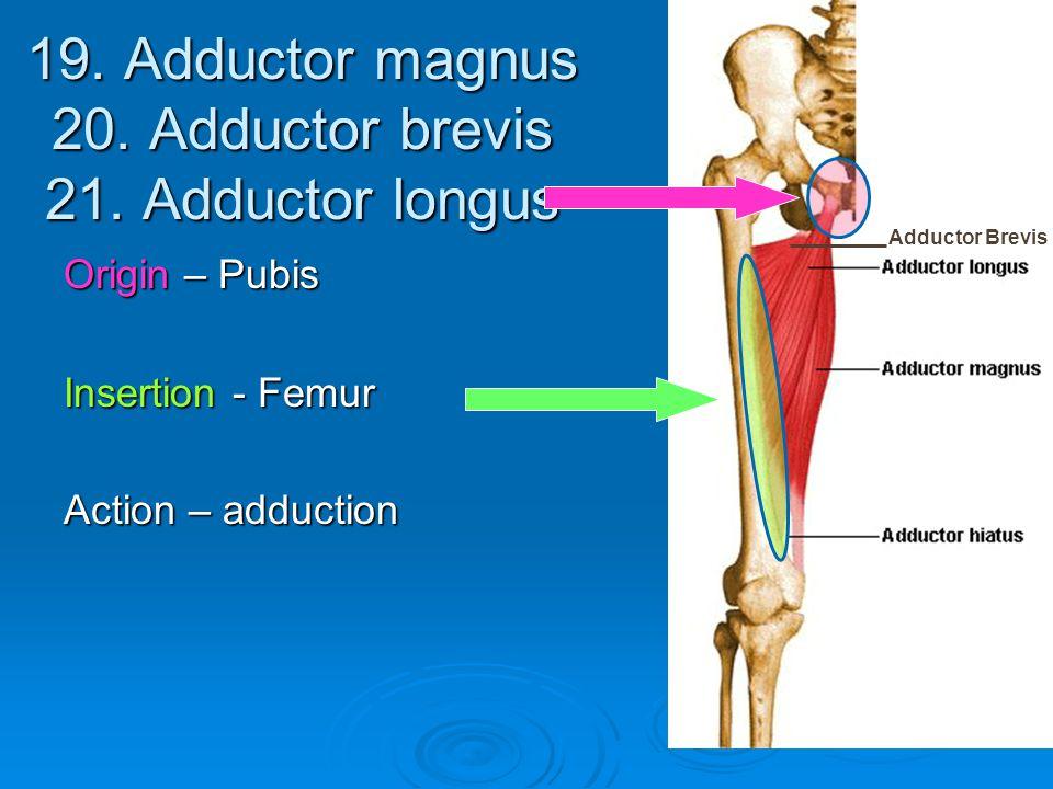 19. Adductor magnus 20. Adductor brevis 21. Adductor longus