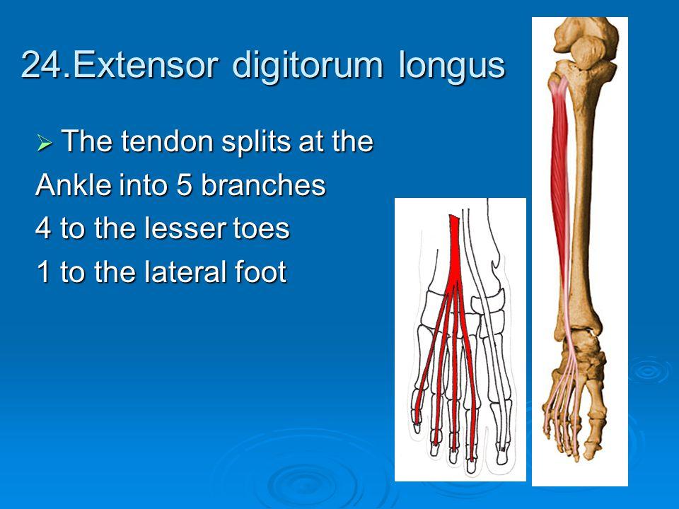 24.Extensor digitorum longus