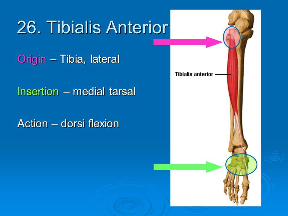 26. Tibialis Anterior Origin – Tibia, lateral