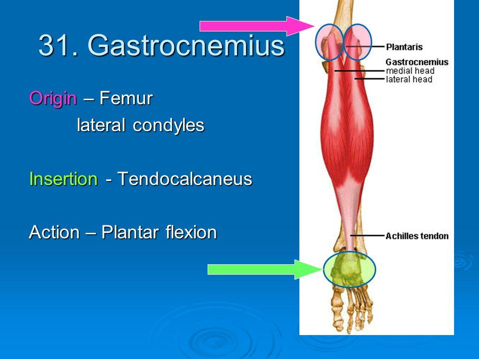31. Gastrocnemius Origin – Femur lateral condyles