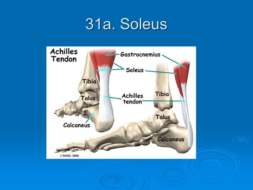 31a. Soleus
