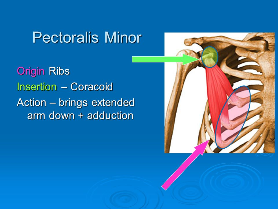 Pectoralis Minor Origin Ribs Insertion – Coracoid
