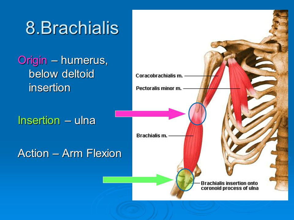 8.Brachialis Origin – humerus, below deltoid insertion