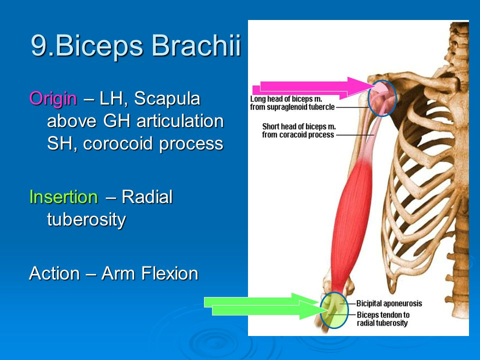 9.Biceps Brachii Origin – LH, Scapula above GH articulation SH, corocoid process. Insertion – Radial tuberosity.