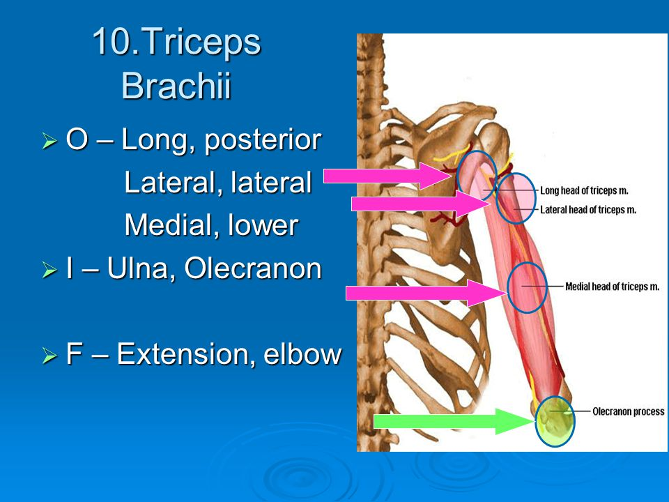 10.Triceps Brachii O – Long, posterior Lateral, lateral Medial, lower