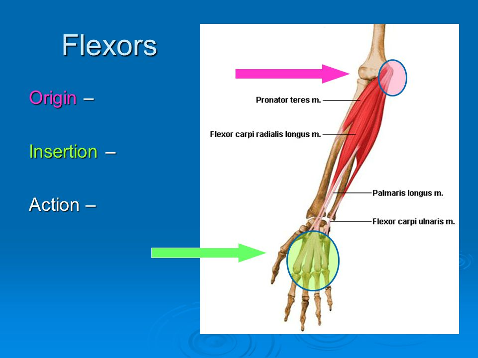Flexors Origin – Insertion – Action –