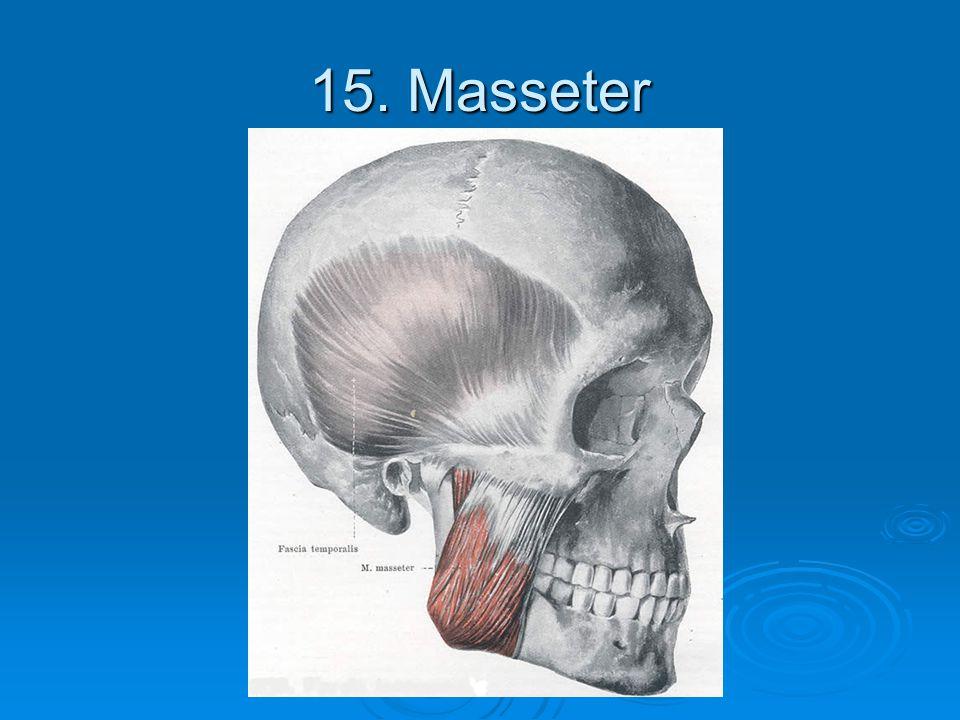 15. Masseter