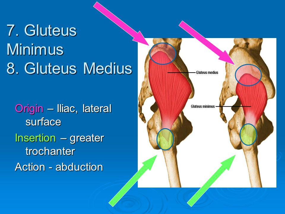 7. Gluteus Minimus 8. Gluteus Medius