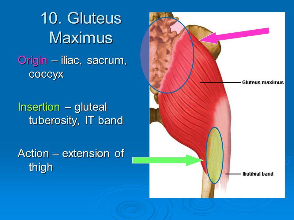 10. Gluteus Maximus Origin – iliac, sacrum, coccyx