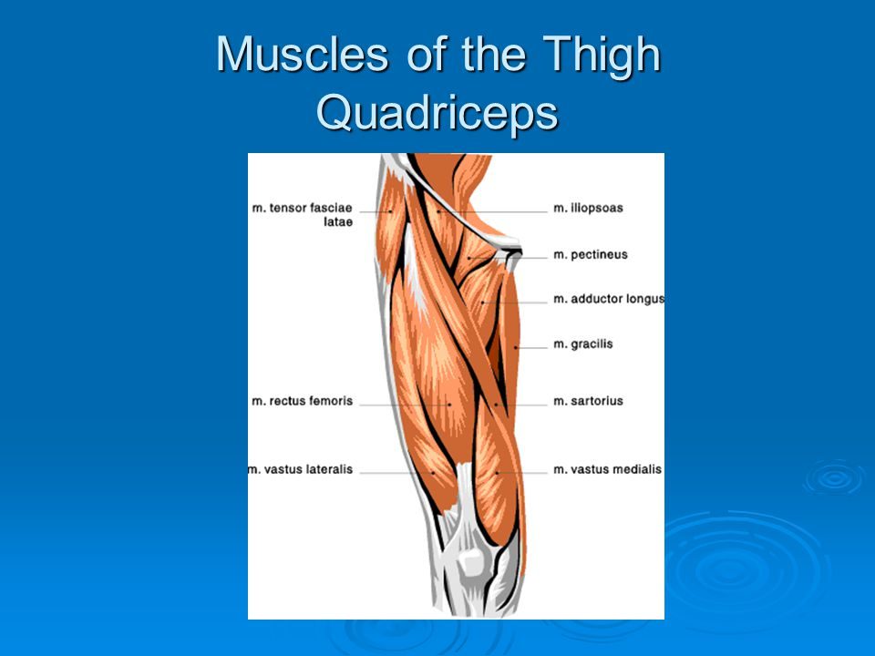 Muscles of the Thigh Quadriceps