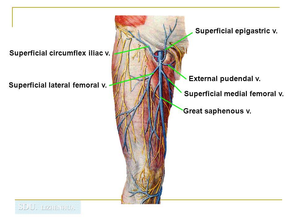 Superficial epigastric v.