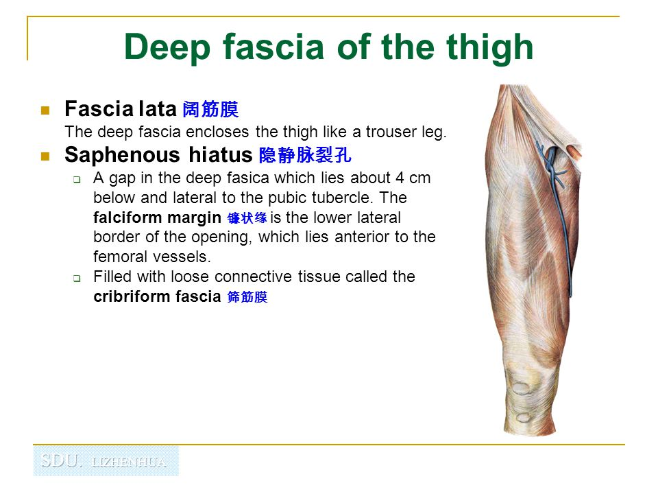 Deep fascia of the thigh