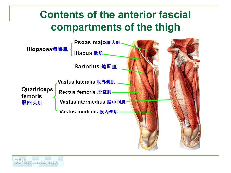 Contents of the anterior fascial compartments of the thigh
