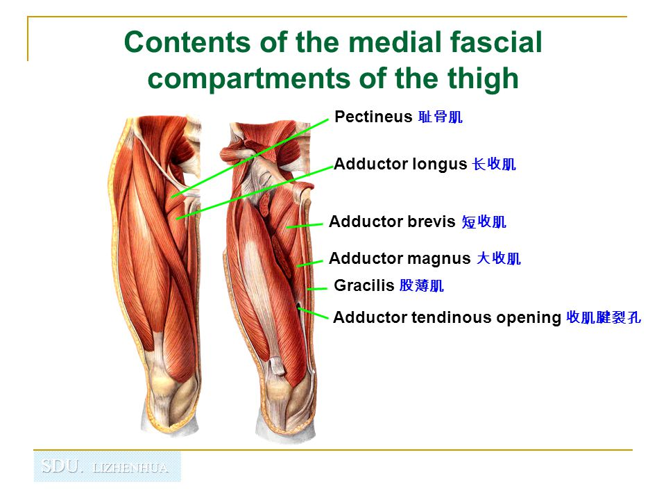 Contents of the medial fascial compartments of the thigh