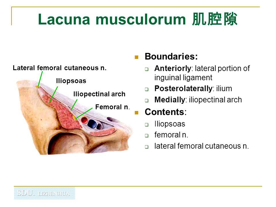 Lacuna musculorum 肌腔隙 Boundaries: Contents: