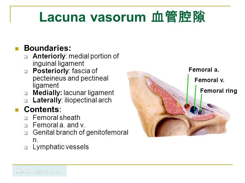 Lacuna vasorum 血管腔隙 Boundaries: Contents:
