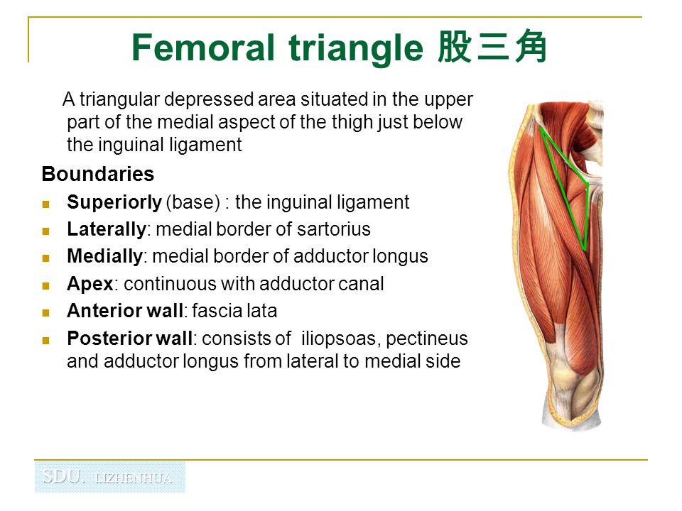 Femoral triangle 股三角 Boundaries