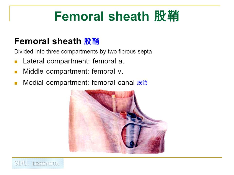 Femoral sheath 股鞘 Femoral sheath 股鞘 Lateral compartment: femoral a.