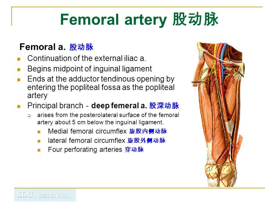 Femoral artery 股动脉 Femoral a. 股动脉