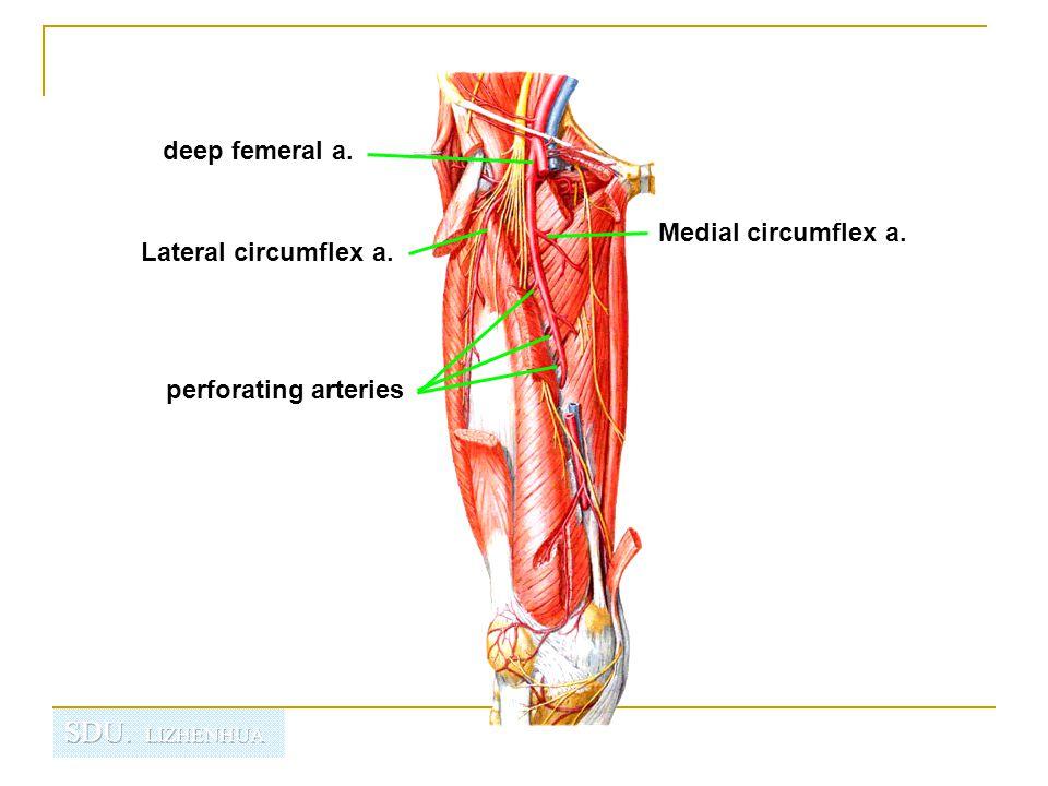 deep femeral a. Medial circumflex a. Lateral circumflex a. perforating arteries