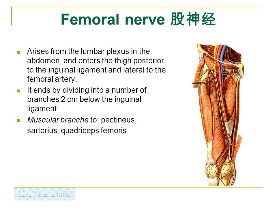 Femoral nerve 股神经
