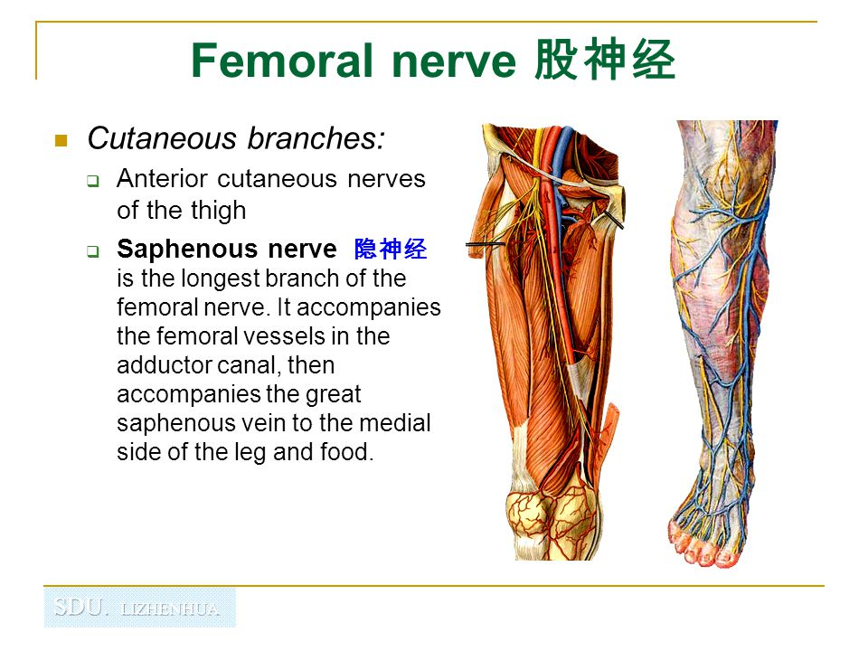 Femoral nerve 股神经 Cutaneous branches:
