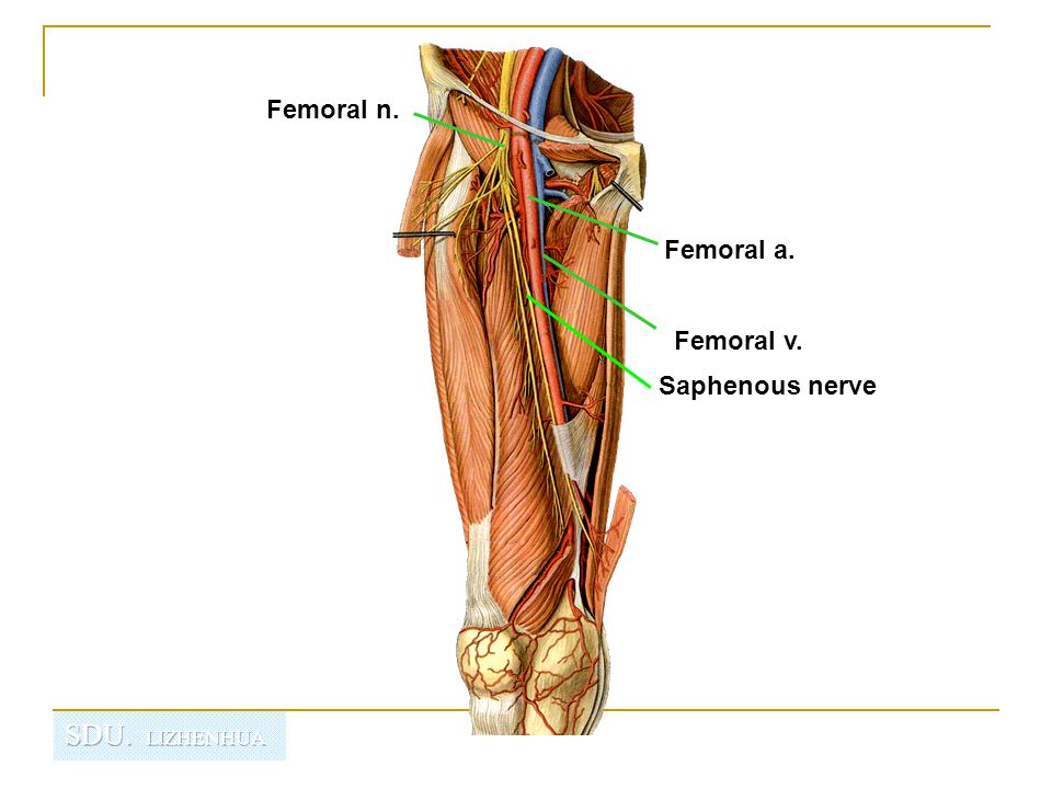 Regional Anatomy Of The Lower Limb Ppt Video Online Download