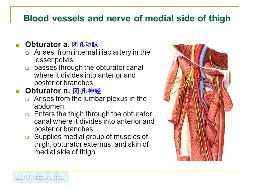 Blood vessels and nerve of medial side of thigh