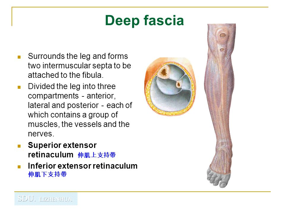 Deep fascia Surrounds the leg and forms two intermuscular septa to be attached to the fibula.